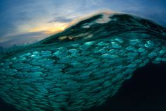 A Wave of Fish, © Eric Madeja, Switzerland, Commended, Open, Wildlife (Open competition), 2018 Sony World Photography Awards
