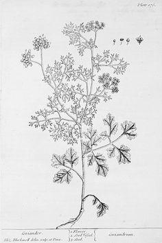 kolendra.jpg (Obrazek JPEG, 370×556pikseli)