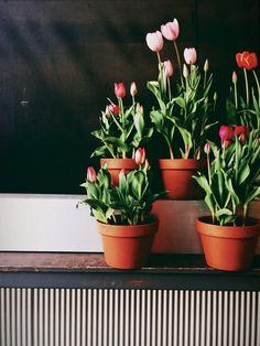 Tulipas são flores lindas e, se você também é fã delas nós explicamos como as pode plantar em casa! #plantas #tulipas #jardim #plantar
