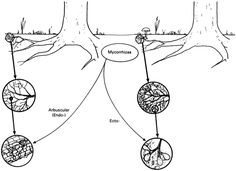 What are mycorrhizae like?