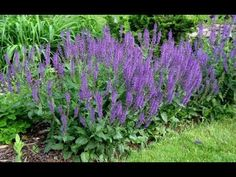 The Latin name for sage, Salvia officinalis, comes from the Latin word salvare, which means to save or cure. At the time of Charlemagne, Salvia was used to treat almost all diseases and have the status Salvia Officinalis, Landscaping Plants, Front Yard Landscaping, Flowering Shade Plants, Bloom, Night Garden, Flowers Perennials, Hardy Perennials, Perennials