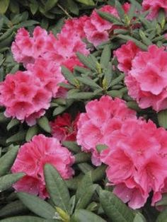 Rhododendron City of Dunedin-Compact with bright pink flowers