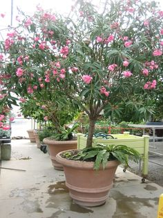 nerium oleander in pot Container Plants, Container Gardening, Nerium, Potted Trees, Evergreen Shrubs, Small Trees, Balcony Garden, Growing Plants, Hedges