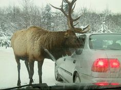 Have to love Canada! Have never experienced a moose or a bear sticking it's head in our car. Pretty scary, those moose are big guys. Largest Countries, Cool Countries, Countries Of The World, All About Canada, Meanwhile In Canada, Canada Destinations, Canada Eh, Ontario, Photo Competition