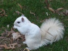White squirrel (not albino) didnt know they existed but there are some around my apartment