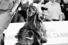 Afghan Hound, Dog Show, Milan, Dogs, Photography, Photograph, Doggies, Photo Shoot, Fotografie