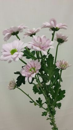 Krysantemum - Chrysanthemum Chrysanthemum, Plants, Plant, Planets, Chrysanthemum Morifolium