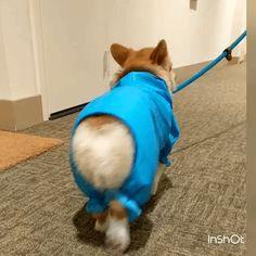 corgi walk
