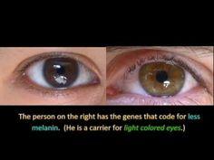 The Genetics of Eye Color (short video) This video helps explain the genetics of eye color in a pretty understandable way. Biology Classroom, Biology Teacher, Ap Biology, Teaching Biology, Science Biology, Life Science, Science Resources, Science Education, Science Activities