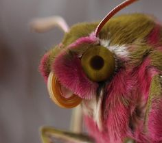 The Elephant Hawk-moth - Pixdaus  I believe Jim Henson got his muppets from looking at moths, etc. up close.