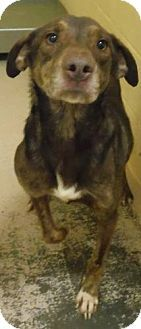 Knoxville, TN - Hound (Unknown Type) Mix. Meet Rowdy a Dog for Adoption.