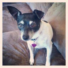 Sasha, my beautiful 13 yr old rat terrier