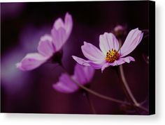 Wisconsin Canvas Print featuring the photograph Cosmo After Glow by Kay Novy #floral #Cosmos #purple #flowers #enhanced #photography #KayNovy #kkphoto1