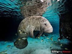 O fotógrafo americano chega a passar até três meses em um local, explorando e fotografando diversas espécies marinhas. A imagem mostra um peixe-boi da Flórida. Os peixes se aglomeram para comer algas presas no corpo dele