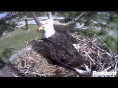 Eagle Cam Pritchett
