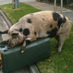 Giant biting pig called Nigel ruins man's peaceful Sunday afternoon
