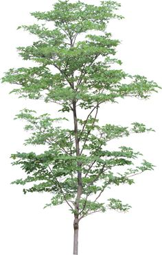 This high quality free PNG image without any background is about tree, wood, plant and branch. Tree Photoshop, Photoshop Images, Photoshop Elements, Landscape Elements, Landscape Design, Architecture Drawings, Landscape Architecture, Photomontage, Tree Psd