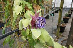 Passiflora triloba' fragrant | por KarlGercens.com GARDEN LECTURES
