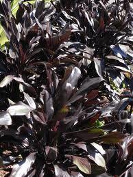 Cordyline-fruticosa-Caruba-Black Tropical Garden, Garden Ideas, Trees, Gardens, Backyard, Deco, Cover, Plants, Black