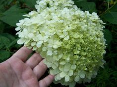 Limelight Hydrangea - Consumer Comments: This Hydrangea is a show stopper: right now, first four months in the ground, full, full sun, lots of fresh air, it is blooming like mad: big, fat beautiful creamy, to bright white elongated blooms. They are sturdy blooms, and take a good wind. They don't collapse. It has doubled in size since April, and I'm looking forward to all the color changes it will go through.