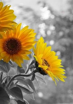black and white photography with splash of color / yellow / sunflowers