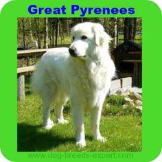 Great Pyrenees Dog Breed Information Large Dog Breeds, Large Dogs, Calm Dog Breeds, Dog Training Tools, Great Pyrenees Dog, Training Collar, Gentle Giant, Labrador Retriever, Cute Animals