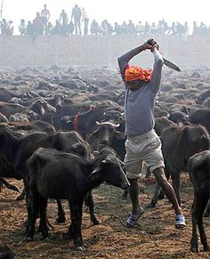 Nepal temple bans mass animal slaughter at festival Animal Slaughter, Amor Animal, Evil People, Stop Animal Cruelty, All Gods Creatures, Animal Faces, Large Animals, Animal Rights, Nepal