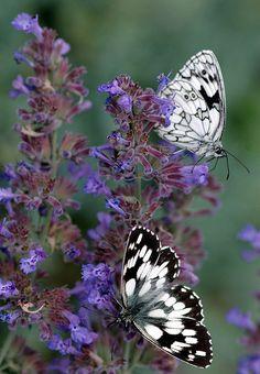 Marbled White butterflies (Melanargia galathea) by Maria Slominski