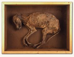 The Curious and Macabre Mummified Skeleton of a Hound (1500 to 1700 England)