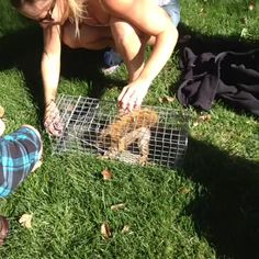 Releasing a squirrel on the Colorado State University campus after it was collared! #colostate #wildlife
