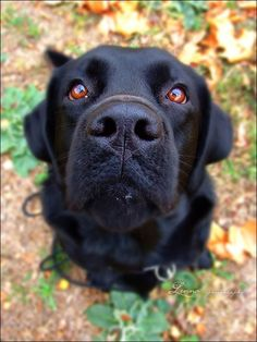 Mind Blowing Facts About Labrador Retrievers And Ideas. Amazing Facts About Labrador Retrievers And Ideas. Perro Labrador Retriever, Retriever Puppy, Labrador Puppies, Corgi Puppies, Black Lab Puppies, Dogs And Puppies, Doggies, I Love Dogs, Cute Dogs