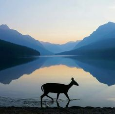 A beautiful photo of first light at Glacier National Park in Montana. While parts of Glacier are closed because of most of the park remains open, including Bowman Lake area. Photo by Dustin LeFevre. All Nature, Amazing Nature, Cool Pictures, Cool Photos, Beautiful Pictures, Amazing Photos, Animal Pictures, Montana National Parks, Thing 1