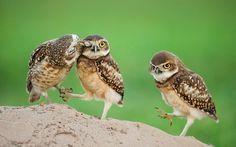 Beautiful wallpaper of owl birds