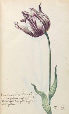 http://manuscriptsattrinity.files.wordpress.com/2012/10/tcd-ms-1706-1-f6-tulip-viceroy-detail.jpg