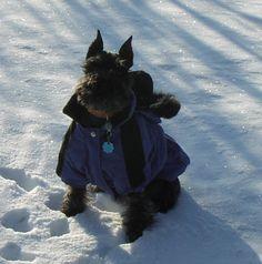 Miniature Schnauzer in the snow.