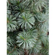My new favorite pine Pinus flexilis 'Vanderwolf'