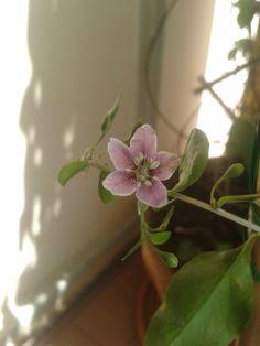 il fiore del mio goji  :)