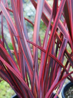 New Zealand Flax: Guardsman