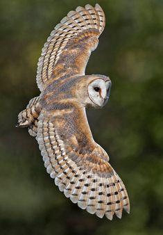Barn Owl en vol , byWayne Davies -