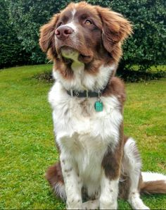 Border Collie Pyrenees (Border Collie + Great Pyrenees) | 17 Border Collie Mixes…