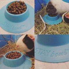 Got a guinea pig that likes throwing their food bowl around? Whee are loving our new Stay Bowl  Here's our review! https://hutchagoodlife.wordpress.com/2016/05/21/saturday-stay-bowl-review/ #guineapig #guineapigs #pet #pets #instalike #instapet #guineapig