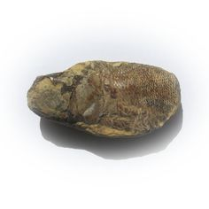 Fish Fossil. $59.50 USD Only 1 available