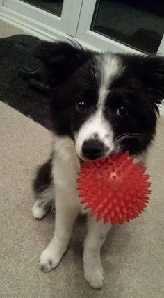 Border collies love toys and playing fetch for hours