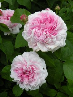 'Gloire de France' - Centifolia-Gallica hybrid rose, Fairly low growing, almost spreading. Amazing Flowers, Beautiful Roses, My Flower, Beautiful Flowers, Bed Of Roses, Pink Roses, Pale Pink, Ronsard Rose, Heritage Rose