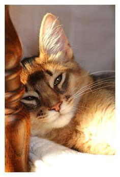 Ruddy Somali (long hair Abyssinian) kitten 久々登場 ブラン君 : L'espace Zen