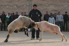 Gladiatorenkämpfe mit Widdern Champions, Horses, Animals, Aries, Gladiators, Viajes, Animais, Animales, Animaux