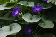 Morning Glory - Yahoo Image Search Results