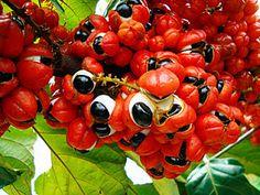 Guaraná (Paullinia cupana Kunth, Sapindaceae) Origem: Brasil – região amazônica
