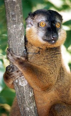 Collared Brown Lemur or Red-collared Lemur (Eulemur collaris) Endangered - only found in south-east Madagascar. Primates, Mammals, Wild Animals, Animals And Pets, Cute Animals, New World Monkey, Animal Portraits, Baboon, Animal 2