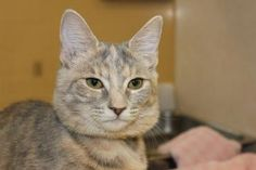 Petango.com – Meet Thelma, a 7 months 4 days Domestic Shorthair / Mix available for adoption in Hagerstown, MD